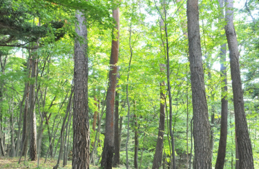 樹木の健康と「病虫害」を考える –新潟市海岸松林の再生事例より   第1回–