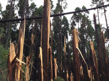 台風15号にともなう風倒被害と山武杉(さんぶすぎ)のお話