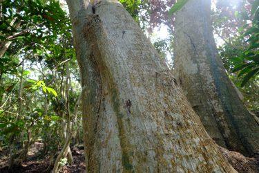 ナラ枯れ、シイ枯れの現場から~高木枯れと土中環境